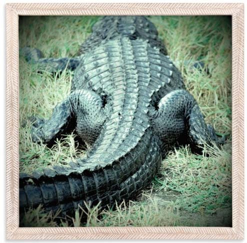 National Parks Prints - Florida Gator