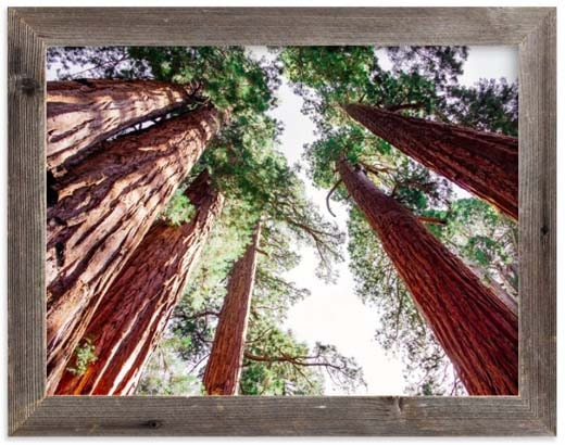 National Parks Prints - Soaring Sequoias